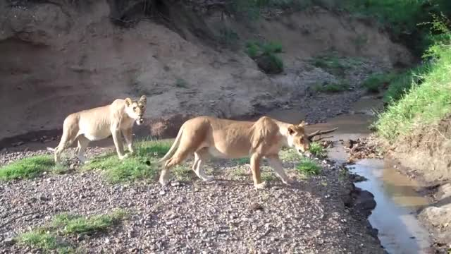 Watch and share Bigcatgifs GIFs and Lionesses GIFs on Gfycat