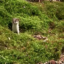 Watch and share Weasel GIFs on Gfycat