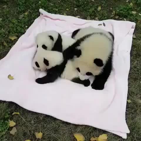 Tag Your Friends Follow us for more. video pandas pandalove pandalife pandabear love instagood giantpanda cute GIF