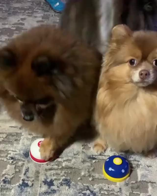 Watch and share GIMME THEM HECKIN TREATS, HOOMAN! 🤣 @pomquadsquad GIFs on Gfycat