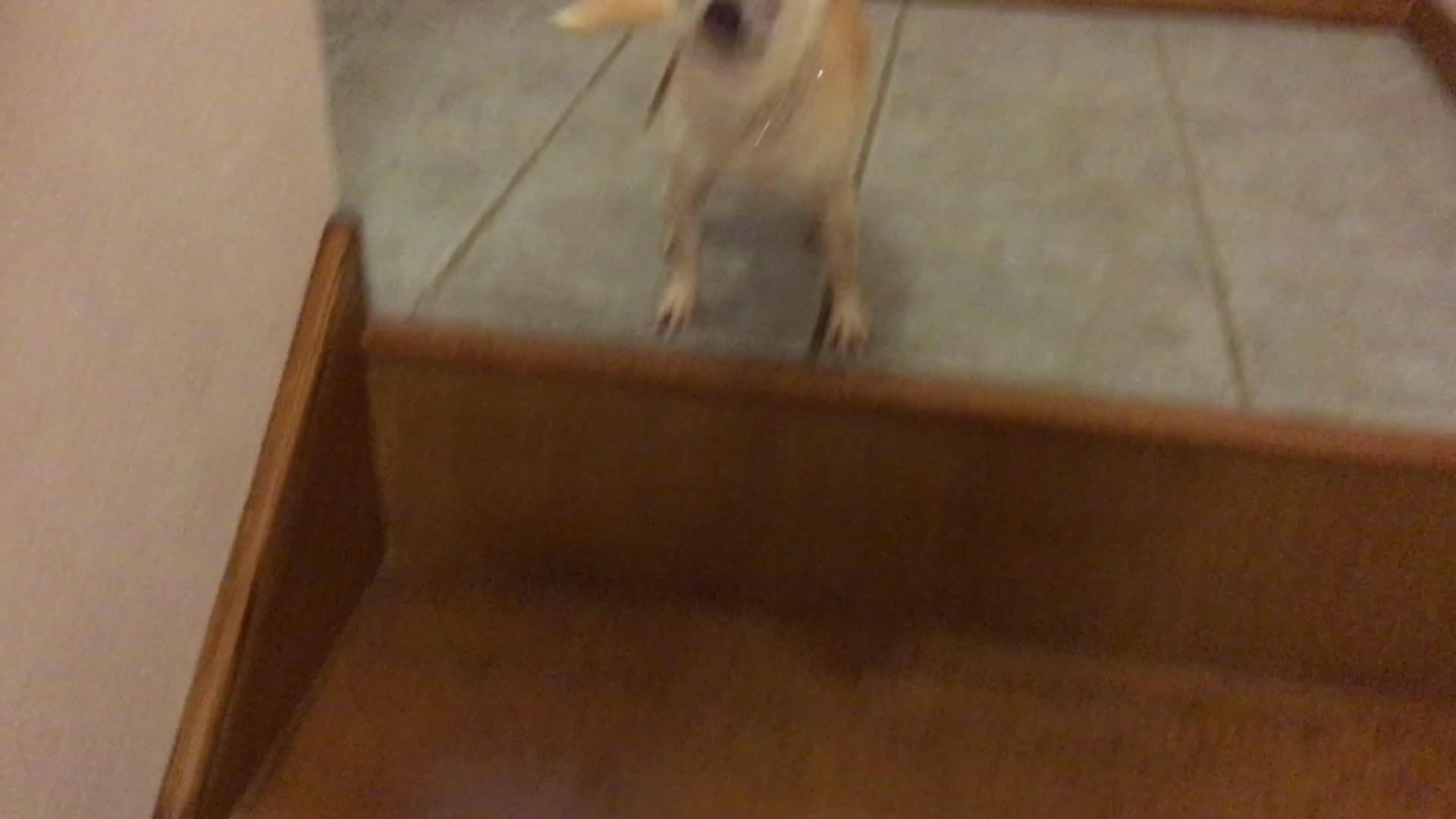 chihuahua, dance, happy dance, Happy little pupper GIFs