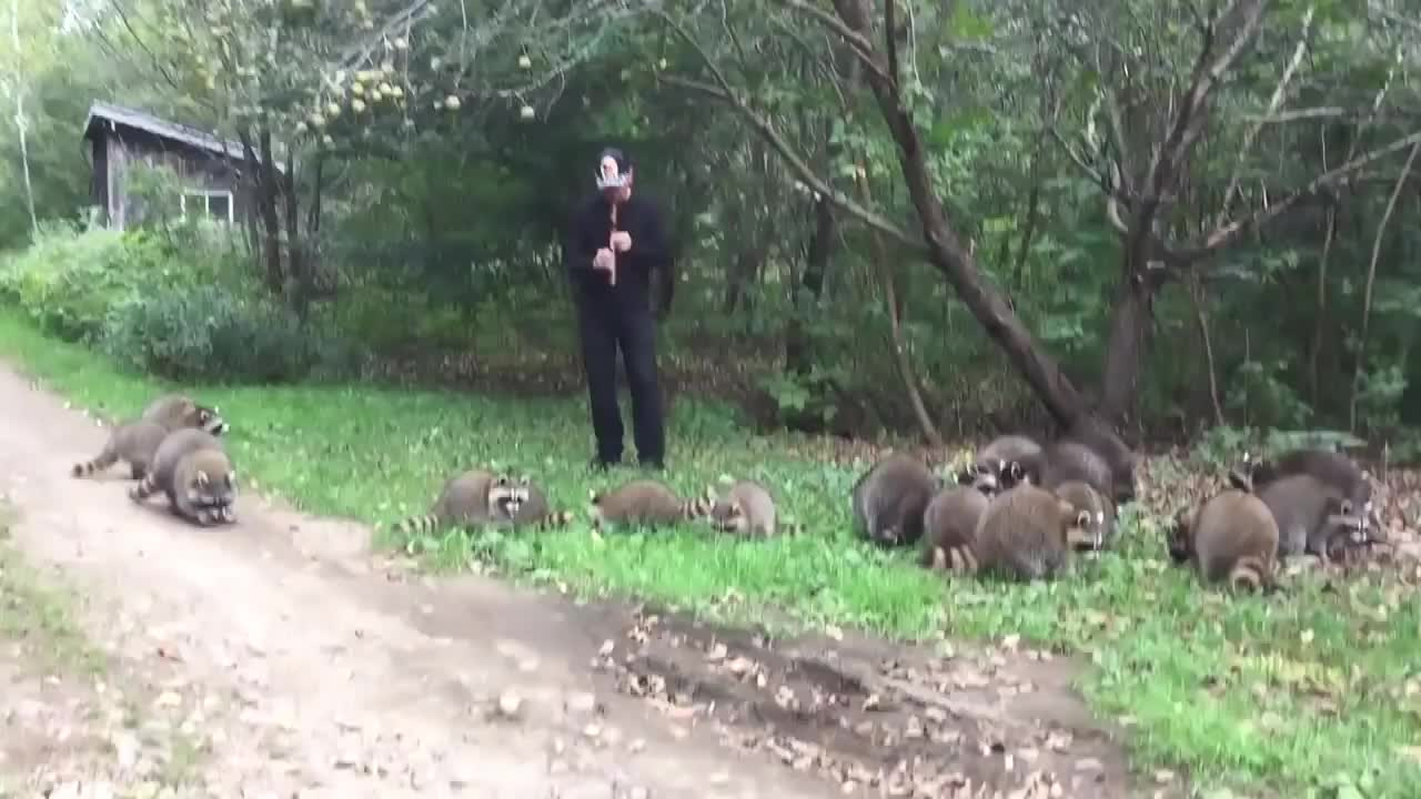 character of color, elephant and the ant, piper, raccoon (animal), raccoon flute, raccoons, reccoon pet, the, Coon Pied Piper GIFs
