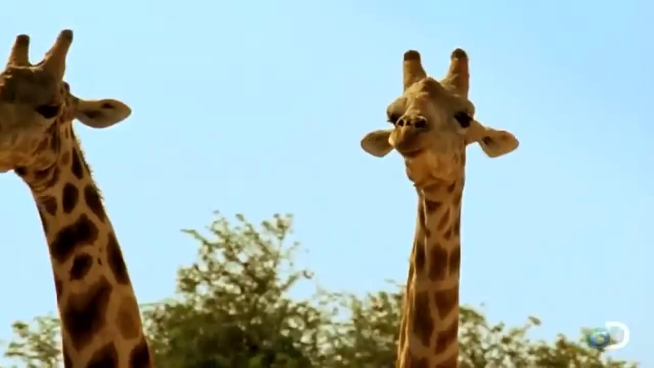 Fighting, Giraffes, funny, giraffe, shutupaustin, Giraffes Fighting! Giraffe Battles! GIFs