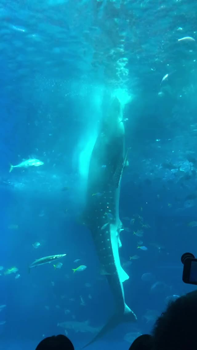 Watch and share Whale Shark Feeding GIFs by theone82 on Gfycat