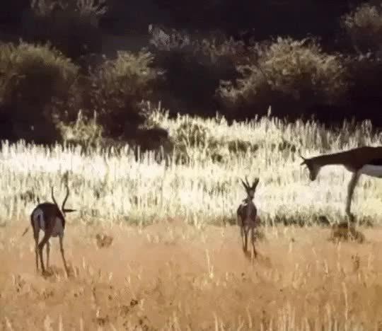 oddlyterrifying, Gazelle SuperFly GIFs