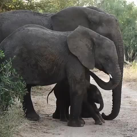Watch Elephant calf uses mom as a rubbing post🐘🐘🙂 ------------------------- GIF by PM_ME_STEAM_K3YS (@pmmesteamk3ys) on Gfycat. Discover more african_portraits, africanamazing, africansafari, animals, bigcats, canon, earthcapture, elephants, exclusive_wildlife, focus, gopro, ig_africa, itsallaboutthewildlife, krugernationalpark, photographer, southafricathroughmyeyes, travel, travelphotography, wildlifephotography, wu_africa GIFs on Gfycat