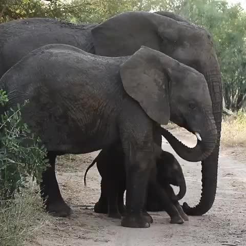 african_portraits, africanamazing, africansafari, animals, bigcats, canon, earthcapture, elephants, exclusive_wildlife, focus, gopro, ig_africa, itsallaboutthewildlife, krugernationalpark, photographer, southafricathroughmyeyes, travel, travelphotography, wildlifephotography, wu_africa, Elephant calf uses mom as a rubbing post🐘🐘🙂 ------------------------- GIFs