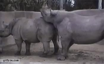 Watch and share Rhino Lifts Other Rhino GIFs on Gfycat