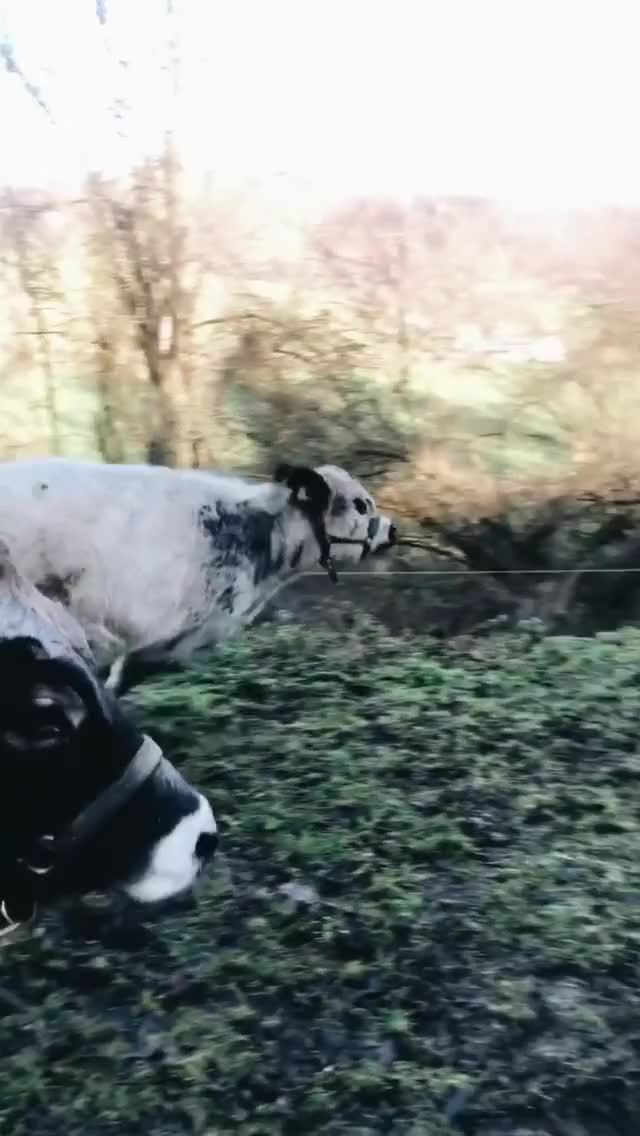 Watch and share Animal Friends GIFs and Cow Friends GIFs by lnfinity on Gfycat