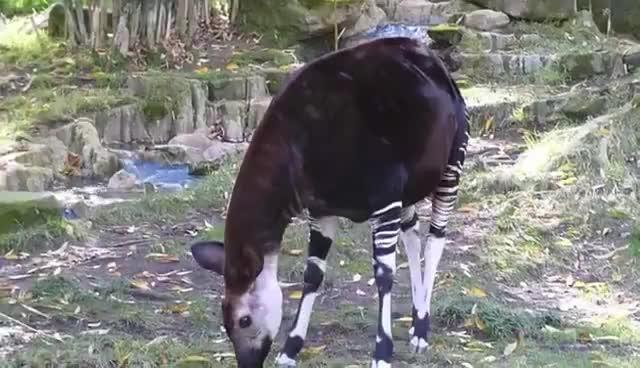 Okapi Okapi Okapi Okapi Okapi Okapi, Okapi GIFs