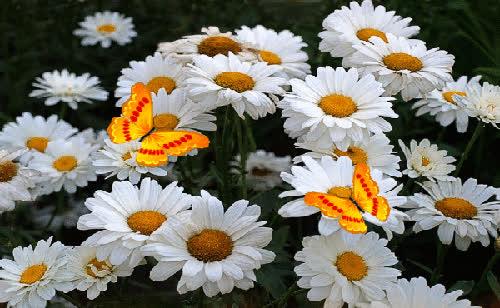 daisy, flower, flowers, daisy GIFs