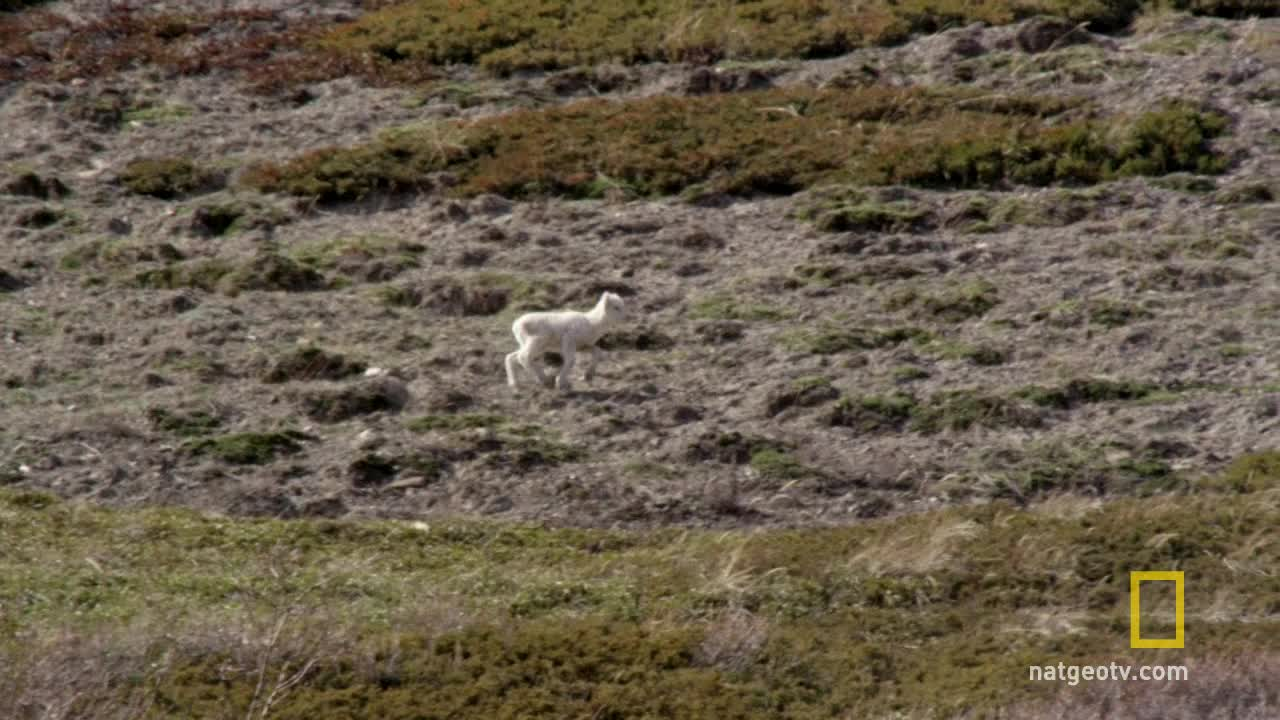nature, Golden Eagle flies off with a Dall Sheep lamb GIFs