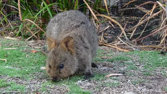 Watch and share QUOKKA (wallabies) Rottnest Island Western Australia GIFs by likkaon on Gfycat