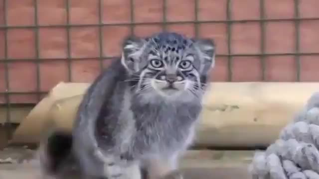 Watch and share Pallas Cat Is Always Watching GIFs by tothetenthpower on Gfycat