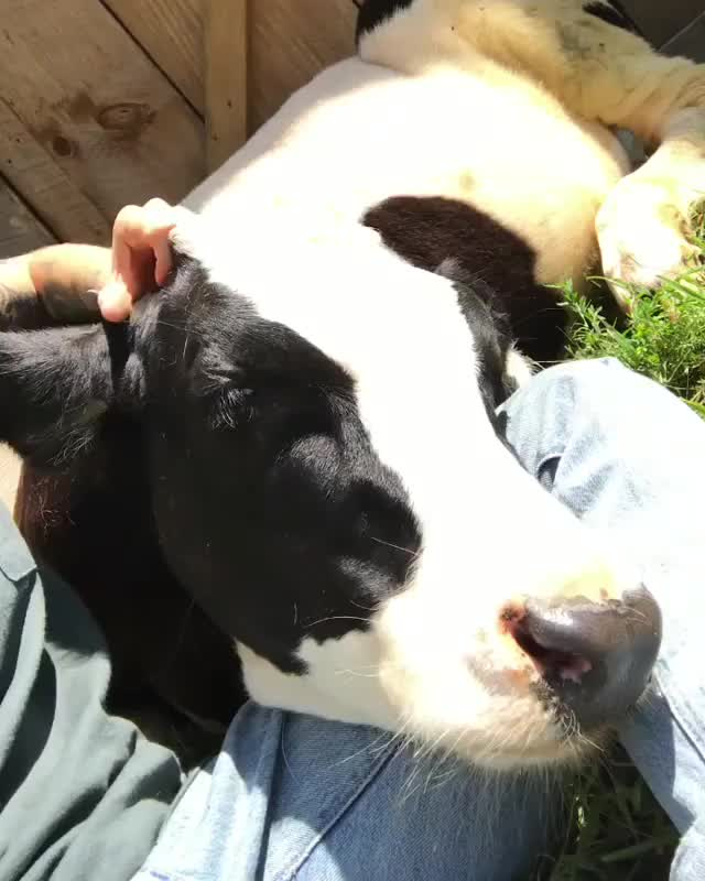 Watch Cuddles with Colin at Woodstock Farm Sanctuary GIF by @b12ftw on Gfycat. Discover more Woodstock Farm Sanctuary, farmsanctuary, friendsnotfood, govegan, someonenotsomething GIFs on Gfycat