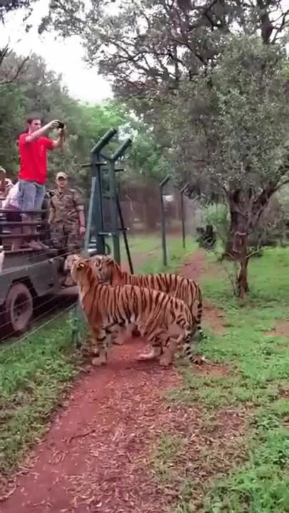 Watch and share Tigers GIFs by Two_Inches_Of_Fun on Gfycat