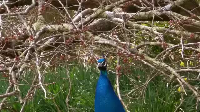 Watch and share Peacock Display GIFs by khannomi868 on Gfycat