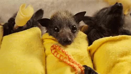 Watch this bat GIF on Gfycat. Discover more animal, bat, zoo animal GIFs on Gfycat