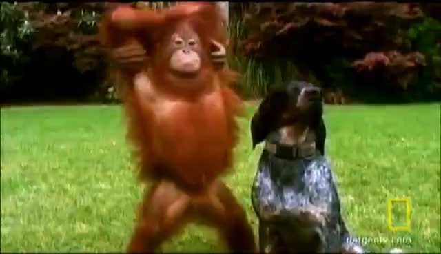 Watch Orangutan Fall GIF on Gfycat. Discover more 4317, Unlikely Animal Friends, hound dog, orangutan GIFs on Gfycat