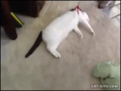 Watch and share CAT Do Not Try To Walk Your Cat In Harness It Is Huge Mistake GIFs on Gfycat