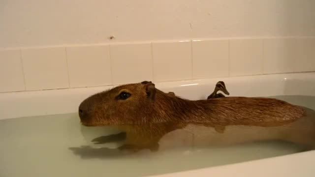 Watch and share Capybara GIFs and Animals GIFs on Gfycat