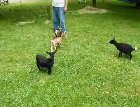 goat, goats GIFs