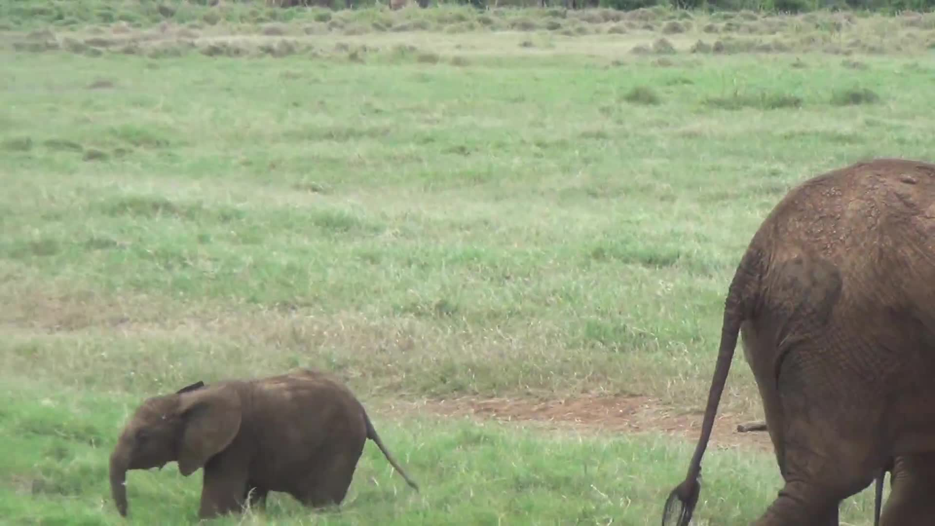 baby, east, elephant, elephants, funny, laugh, laughing, playing, silly, tsavo, Got a little too far from mom. GIFs