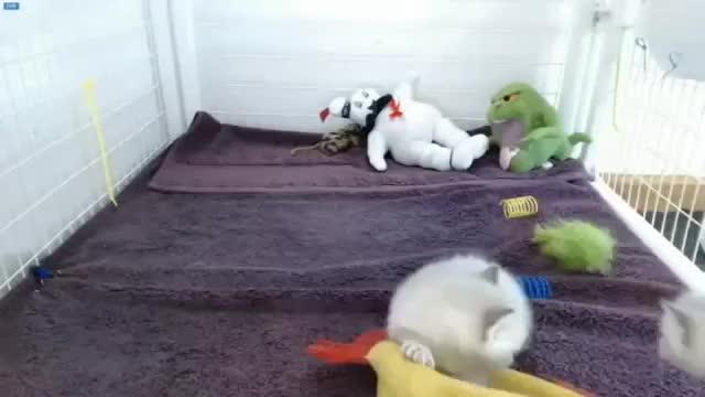 Watch and share Nascar Kitten (around And Around And Around...) (reddit) GIFs on Gfycat