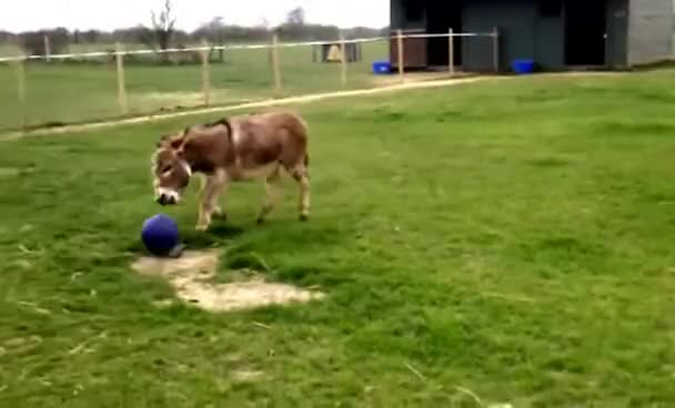 Watch and share Donkey Playing Football GIFs on Gfycat