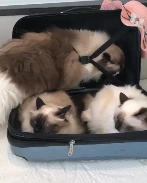 bringtheessentials, cats, meowed, meowed by 9gag, olanragdoll, ragdoll, 🇳🇱, Only pack the essentials ⠀ GIFs