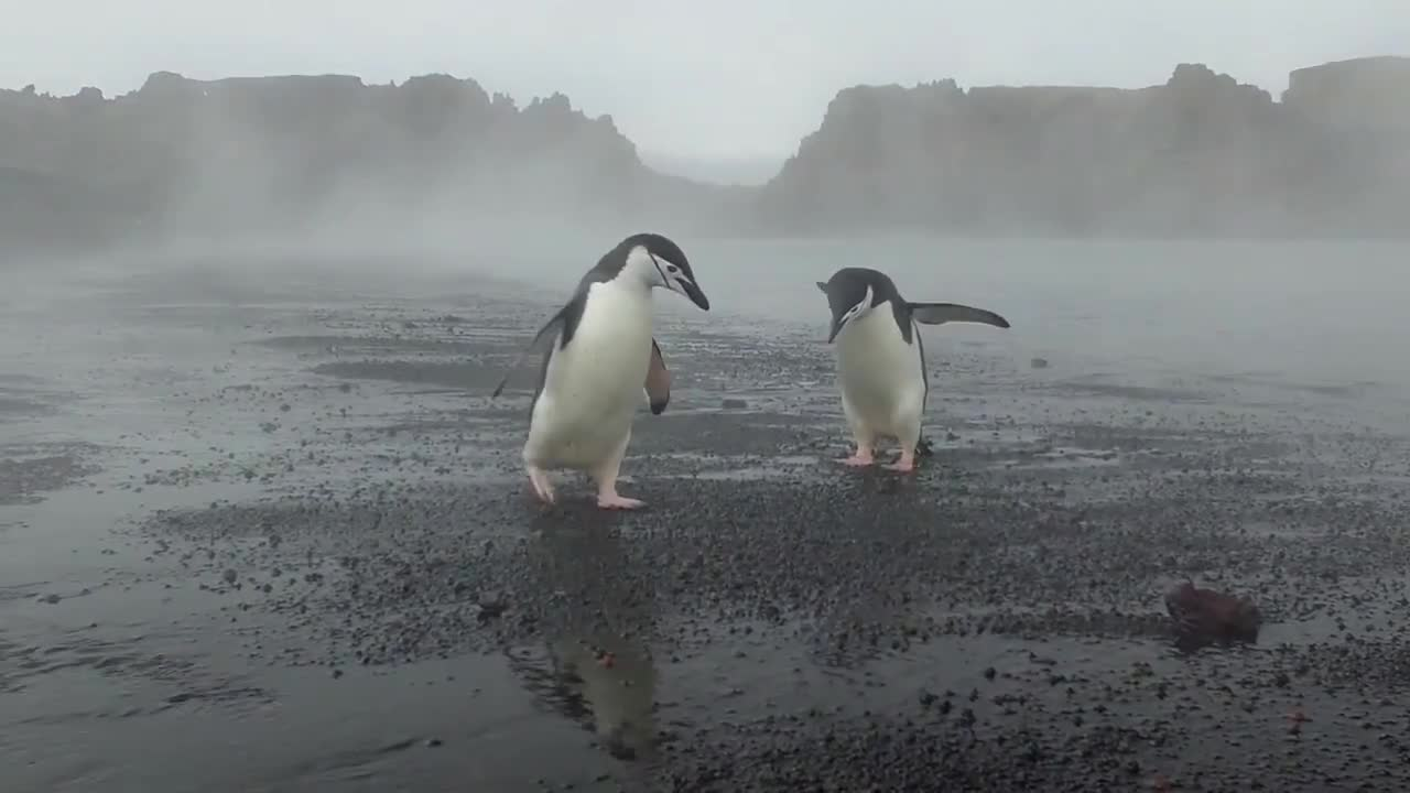 Chinstrap Penguins fighting in an active volcano GIFs