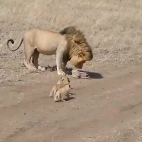 Watch and share Lions GIFs and Lion GIFs by tothetenthpower on Gfycat