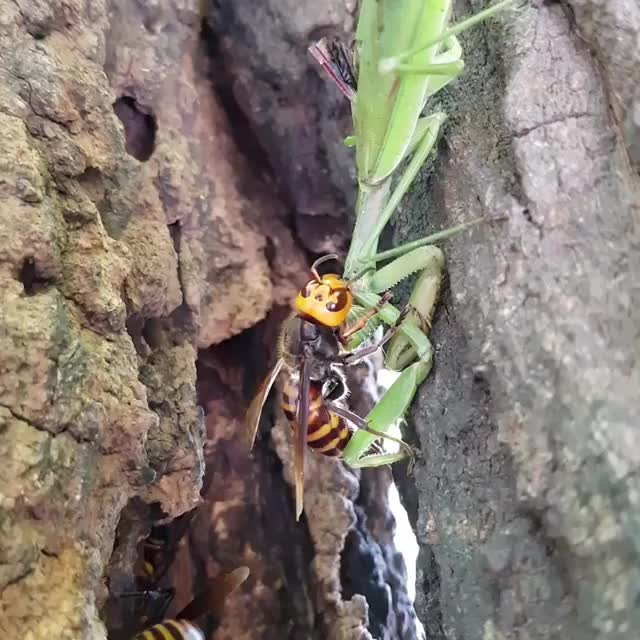 Watch and share Giant Hornet Chewing On A Mantis GIFs on Gfycat