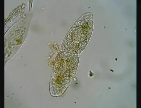 Watch and share Paramecium Dividing GIFs on Gfycat