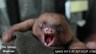 Watch sloth yawn GIF on Gfycat. Discover more related GIFs on Gfycat