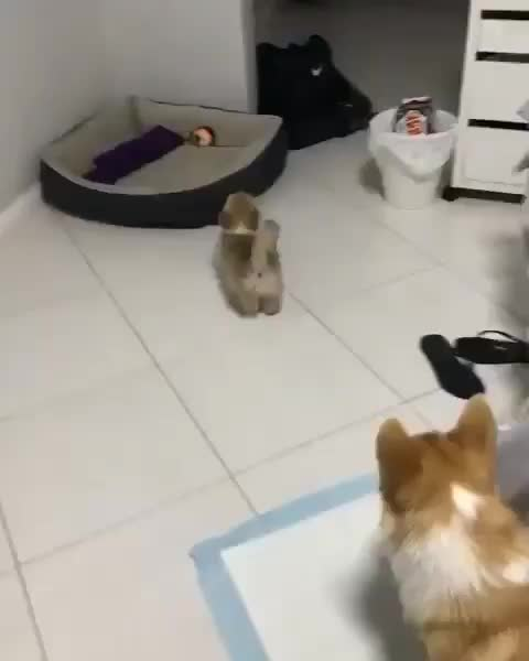 Corgi pup trying to get the hang of playing GIFs