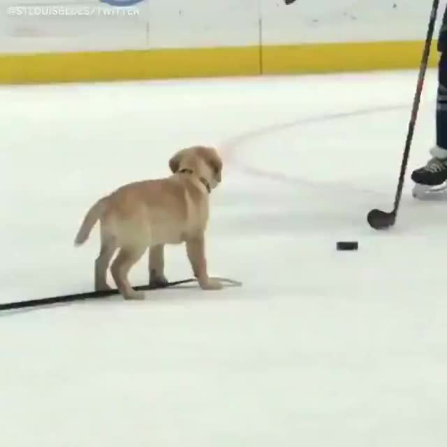 Watch and share Ruff Hockey Practice GIFs on Gfycat