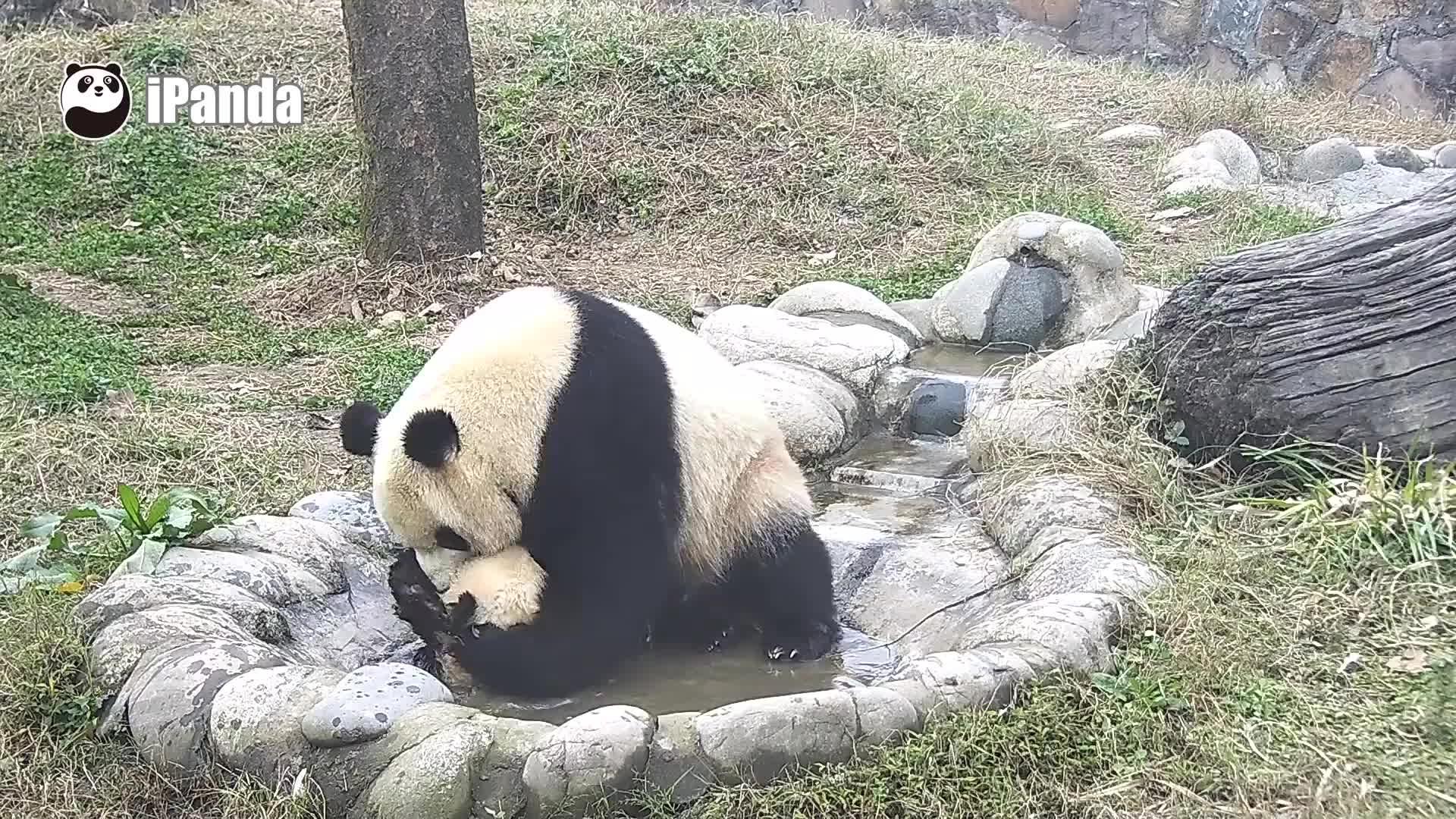 likeus, 熊猫团团, 熊猫宝宝, Adorable Panda Baby's bath GIFs