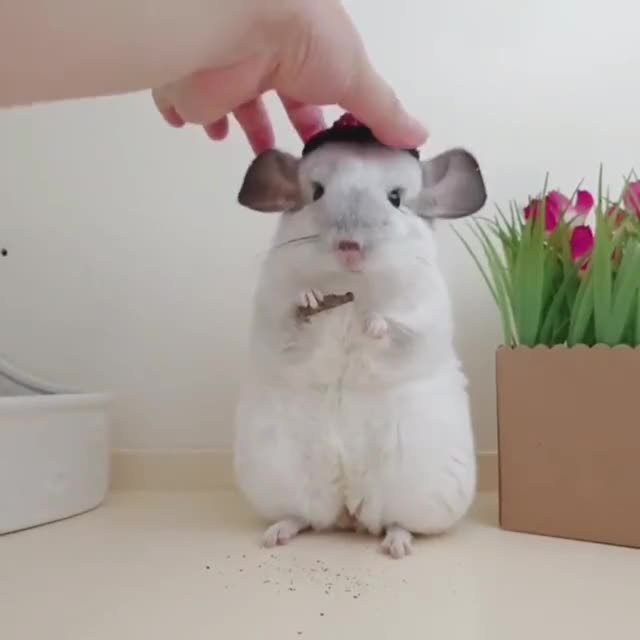 Watch and share Chinchilla GIFs by makeitstop on Gfycat