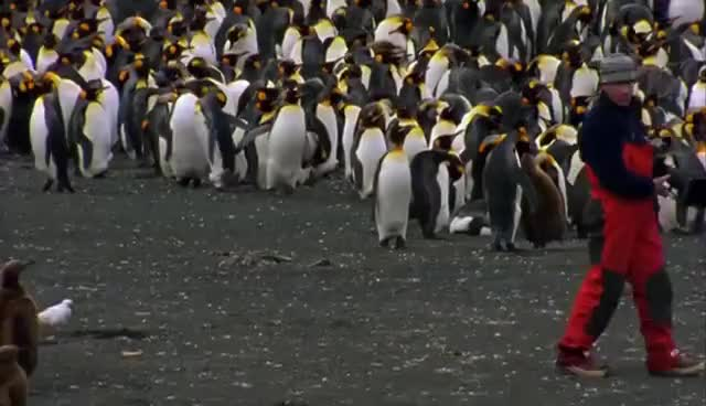 Watch and share Penguin Cult Leader Gif GIFs on Gfycat