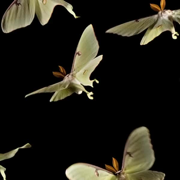 Watch Loopy Luna moths GIF by @pekuska on Gfycat. Discover more gifs, moth, slow motion GIFs on Gfycat