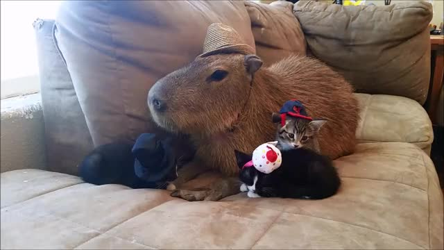 Watch and share Capybara GIFs and Kittens GIFs by Crazy Cody's Creatures  on Gfycat