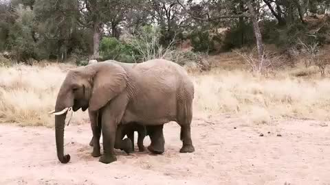 africaamazing, baby, elephants, franna_wildlife, funny, lionsandsgamereserve, thisisafrica, Had a great Drive! Watching these two Baby Elephants running in the River bed! GIFs