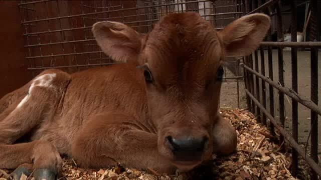 En tyrekalv fra mælkeindustrien bliver skudt med boltpistol
