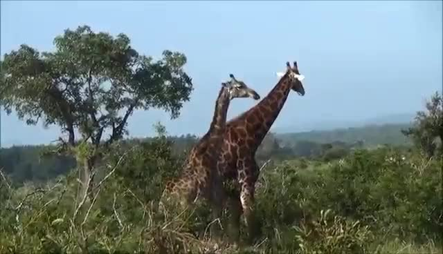 Watch Giraffe Eating Tree Tops. Funny. Kruger National Park. South Africa GIF on Gfycat. Discover more related GIFs on Gfycat