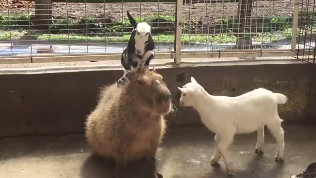 Watch and share Capybaras GIFs and Goats GIFs by Richard Tozier on Gfycat