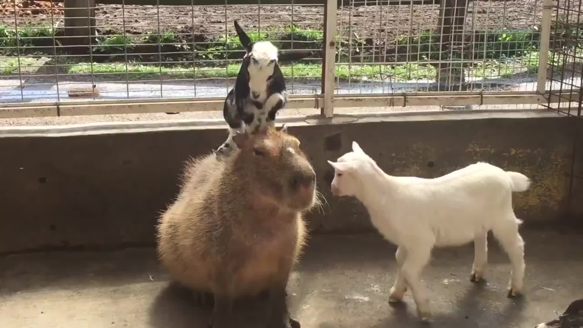 capybaras, goats, This capybara is the world's most chilled animal GIFs