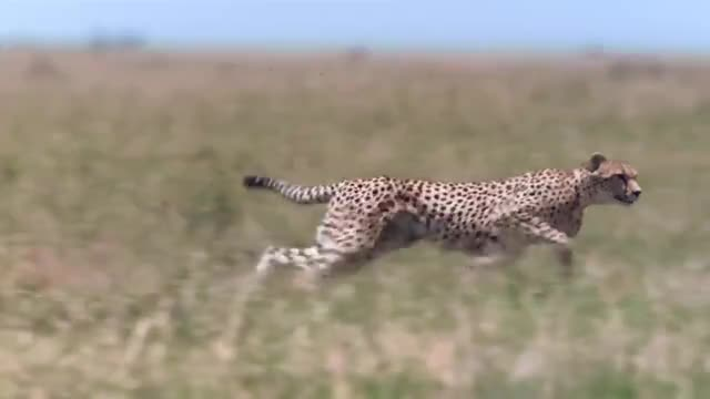 Watch and share Cheetah Chases Down A Gazelle GIFs by Pardusco on Gfycat