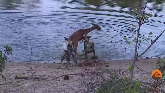 Watch Wild Dogs Hunt & Kill Pregnant Impala | Graphic GIF on Gfycat. Discover more kruger, national, park GIFs on Gfycat