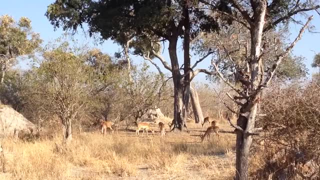 Watch and share Leopard Pounces On An Impala GIFs by Pardusco on Gfycat